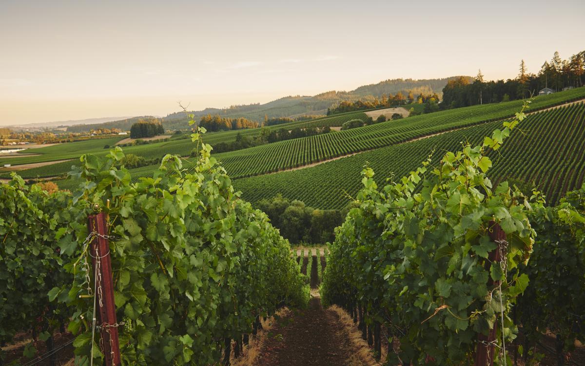Gran Moraine vineyard