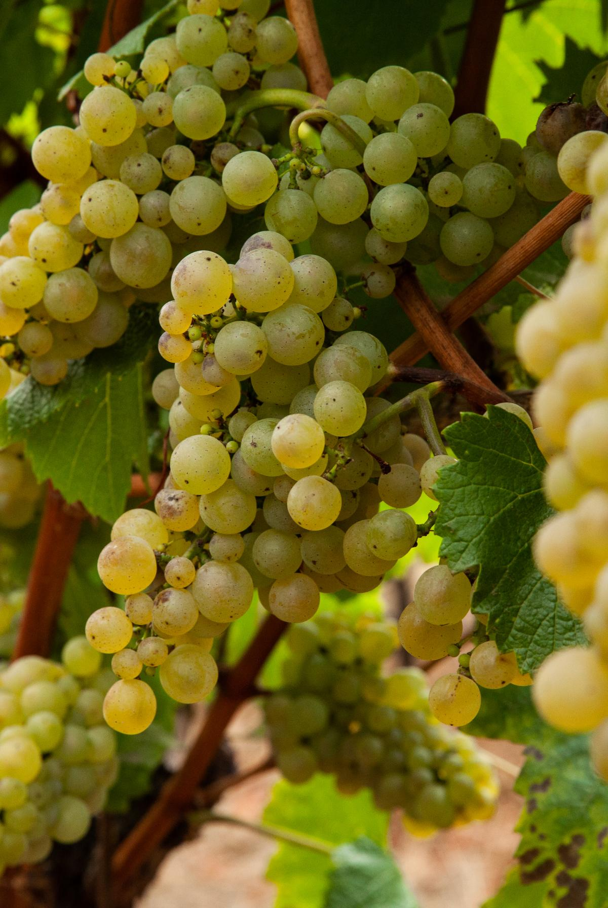 Chardonnay grape clusters on vine